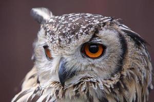 Bengal eagle owl photo