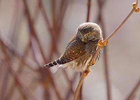 Northern Pygmy Owl photo