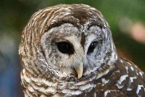 Portrait of Barred Owl (Strix varia)