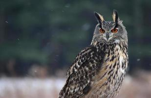 Proud Eurasian Eagle-Owl