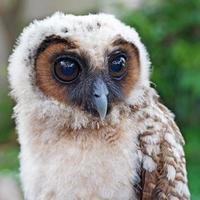 ural owl or strix uralensis bird photo