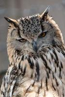 European Eagle Owl