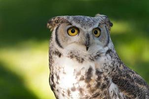 Great Horned Owl Against Green photo