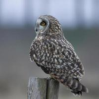 Short-eared Owl photo