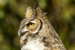 Great Horned Owl in Autumn Setting
