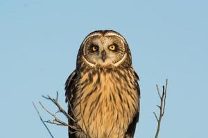 Short Eared Owl photo