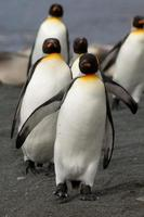 King Penguins, Macquarie Island