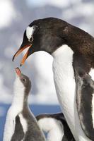 pingüinos gentoo hembra con pico abierto y polluelos durante la alimentación