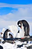 pingüinos en una roca