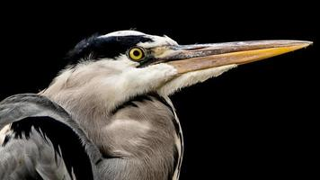 "Grey heron (Ardea cinerea) with ""low key"" lighting photo"