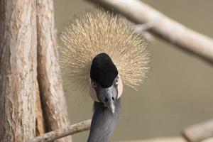 Head of the black crowned crane