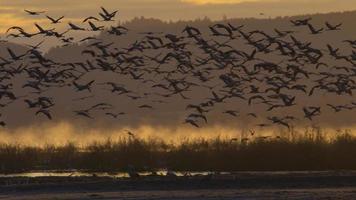Kraniche - starting eurasien crane
