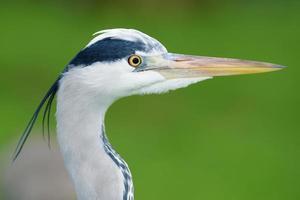 Grey Heron, Ardea cinerea photo