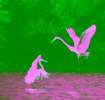 The fighting great egrets (Ardea alba).