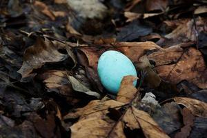 huevo de petirrojo en hojas