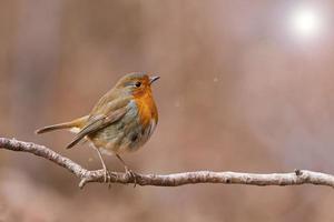 European Robin photo