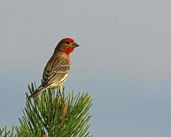 House Finch Adult Male