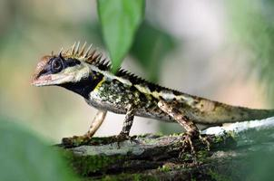 Black faced, masked spiny, tree lizard, acanthosau