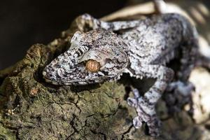 Uroplatus fimbriatus photo
