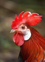 retrato de gallo rojo