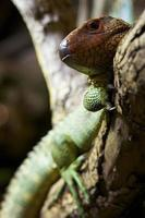 Lizards photo