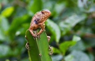 camaleón buscando comida foto