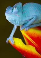 Foto macro de un camaleón en azul sobre flores tropicales
