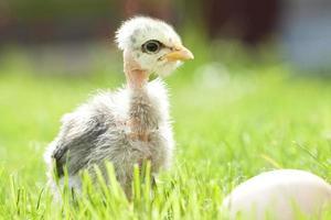Cute chicken on green grass