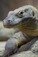The Komodo dragon photo