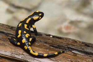salamandra de fuego foto