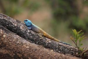 Blue headed agama