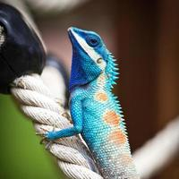 Blue lizards