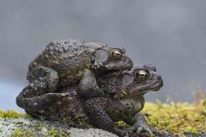 Two frogs mating on a moss covered rock.