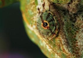 ojo camaleón foto