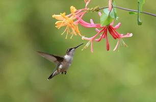 Hummingbird photo