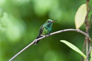 Canivet's Emerald (Chlorostilbon canivetii), male hunningbird