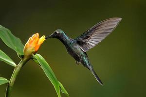 Violet Saberwing Hummingbird photo