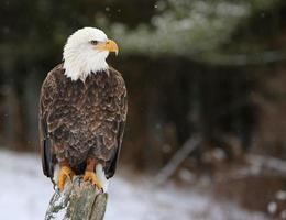 Stern Bald Eagle photo