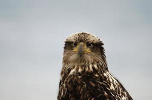 águila calva juvenil foto
