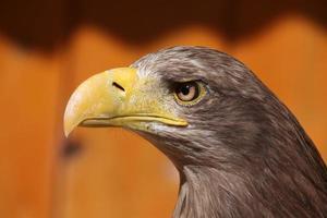 águia-de-cauda-branca (haliaeetus albicilla).