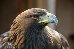 Águila dorada