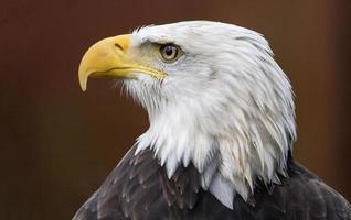 Bald eagle profile photo