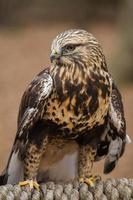 rauhbeiniger Falke foto