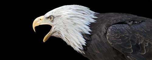 gritando águila calva foto