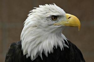 Primer plano del perfil de la cabeza del águila calva (haliaeetus leucocephalus) foto