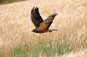 jonge havik tijdens de vlucht in het schilderachtige Saskatchewan