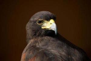 primer plano de harris hawk mirando por encima del hombro