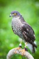 Eurasian sparrowhawk photo
