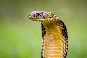 cobra-rei (ophiophagus hannah) a maior cobra venenosa do mundo