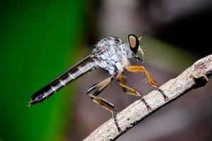close up robber fly